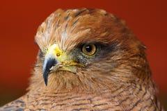 Savanna Hawk /  buteo meridionalis. Close Up Profile Of Savanna Hawk Royalty Free Stock Photos