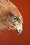 Savanna Hawk /  buteo meridionalis. Close Up Profile Of Savanna Hawk Stock Photography
