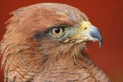 Savanna Hawk /  buteo meridionalis. Close Up Profile Of Savanna Hawk Stock Photo