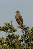 Savanna hawk, Buteogallus meridionalis. Single bird on branch, Brazil Royalty Free Stock Photo