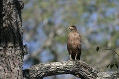 Savanna hawk, Buteogallus meridionalis. Single bird on branch, Brazil Royalty Free Stock Image