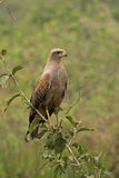 Savanna hawk, Buteogallus meridionalis Royalty Free Stock Photography