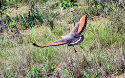 Savanna Hawk in flight Royalty Free Stock Photos
