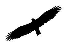 Savanna Hawk Royalty Free Stock Image