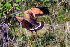 Savanna  Hawk taking off Stock Images