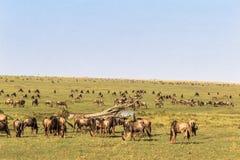 Savanna herbivores. Great migration. Kenya, Masai Mara Royalty Free Stock Images