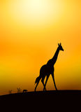 Savanna illustration Royalty Free Stock Images