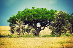 Savanna landscape in Africa, Serengeti, Tanzania. Kigelia called Sausage Tree Stock Images