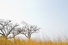 Savanna meadow and pine forest Royalty Free Stock Images
