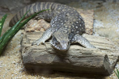 Savanna Monitor Stock Image