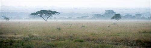 Savanna in a morning fog. Stock Photo