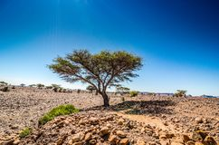 Savanna in moroccan hamada desert Erg Chigaga near Four Zguid with acacia trees.  stock photography