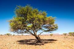 Savanna in moroccan hamada desert Erg Chigaga near Four Zguid with acacia trees.  royalty free stock photo