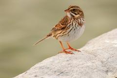 Savanna Sparrow on the rocks royalty free stock images