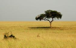 savannah Arkivbild