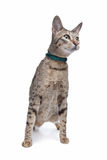 Savannah cat Royalty Free Stock Photography