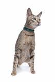 Savannah cat Royalty Free Stock Photography