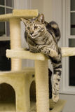 Savannah Cat. A shot of a highly rare savannah cat, lounging on its perch. This is a very expensive pet stock image