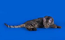 Savannah cat on a blue background  Stock Photos