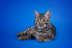 Savannah cat on a blue background  Royalty Free Stock Images