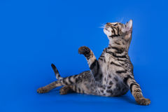 Savannah cat on a blue background isolated Royalty Free Stock Photo
