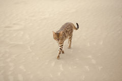 Savannah cat in desert Royalty Free Stock Image