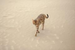 Savannah cat in desert Royalty Free Stock Image