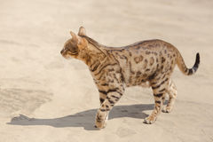 Savannah cat in desert Royalty Free Stock Photography