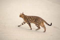 Savannah cat in desert Royalty Free Stock Photos