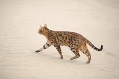 Savannah cat in desert Royalty Free Stock Photos