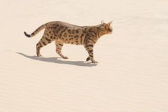 Savannah cat in desert Stock Photos