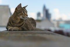 Savannah Cat with Frankfurt Skyline Stock Image