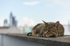 Savannah Cat with Frankfurt Skyline Stock Images
