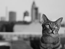 Savannah cat in Frankfurt. Cat with Frankfurt Skyline in the background stock photos