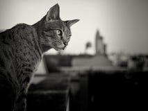Savannah cat and Frankfurt Skyline in Background Royalty Free Stock Photos