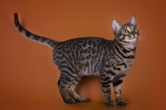 Savannah cat isolated on a brown background Stock Photography