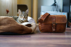 Savannah cat Stock Images