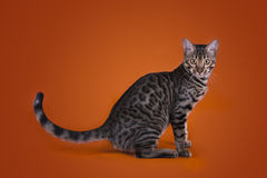 Savannah Cat On A Brown Background Stock Photo