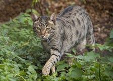 Savannah cat outside. Stalking towards camera stock photos