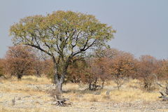 The savannah in the Etosha National Park in Namibia Stock Image
