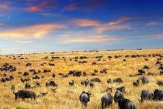 Savannah at evening. Evening time in the savannah,wildebeest antelopes in the Masai Mara national park, Kenya royalty free stock images