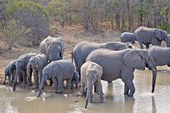 Savannah för dricksvatten för elefantelefantgrupp Arkivbilder