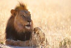 savannah för leo lionpanthera Arkivbilder