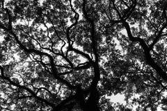 Savannah Georgia Live Oak Lizenzfreies Stockbild