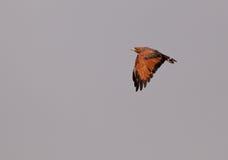 Savannah Hawk. A Savannah Hawk (Buteogallus meridionalis) in flight at the Chaparri nature reserve in northwestern Peru Royalty Free Stock Photo