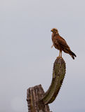 Savannah Hawk on cactus plant Royalty Free Stock Photo