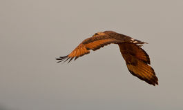 Savannah Hawk in flight Stock Photography