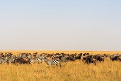 Savannah herbivores. Great migration. Kenya Stock Photography