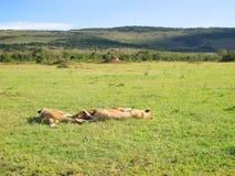 Savannah i Kenya Avslappnande Lions Royaltyfri Foto