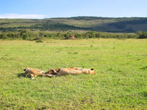 Savannah in Kenya. Relaxing lions Royalty Free Stock Photo